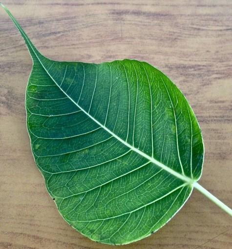 Sri Lanka Bo Leaf
