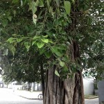 Sri Lanka Bo Tree