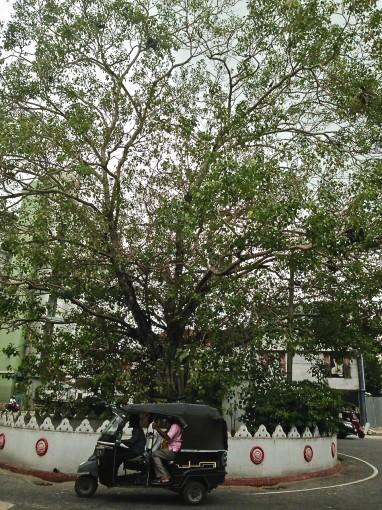 Sri Lanka Bo Tree Hari Hari