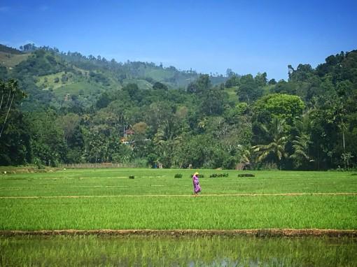 Paddy Fields in Sri Lanka